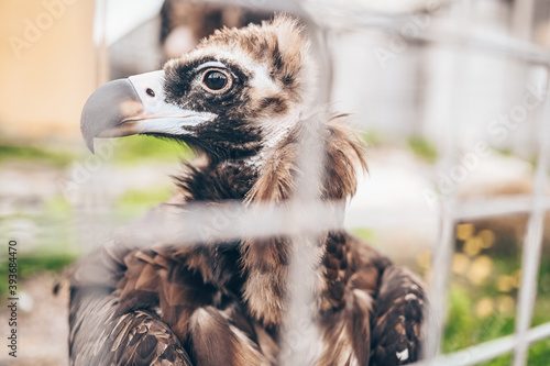 Photo Close up cinereous vulture Aegypius monachus in captivity in the zoo through the bars