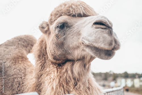 Foto Close up of funny Bactrian camel in Karelia zoo