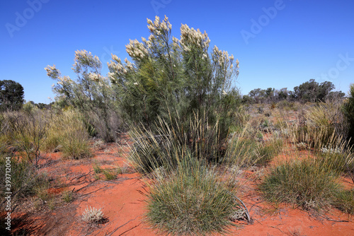White Grevillea and spinifex plants in arid Australia outback Fototapete