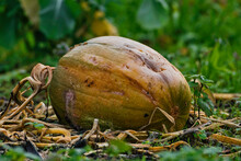 2020-11-19 THE LAST PUMPKIN IN A PATCH ROTTING AT THE END OF THE SEASON