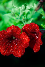Close Up On Two Flowers Of Surfinia, Type Of Petunia, Color Red And Covered In Fresh Droplets Of Water Catching Light, Some Green Leaves Are Visible, Looking Fresh And Healthy