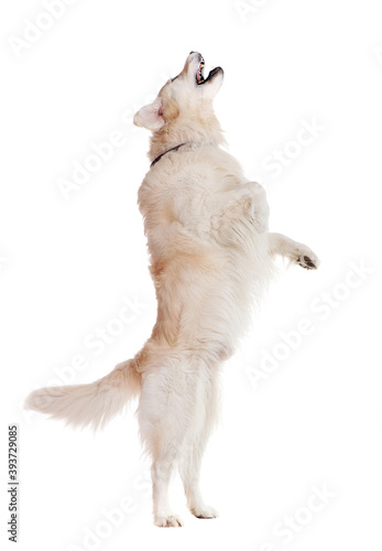 Photo Side view picture of a golden retriever standing on hind legs