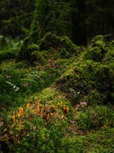 Orange Coral Mushroom On Moss Grown Forest Ground