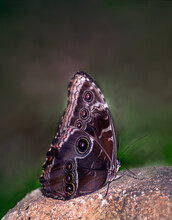 Known As The Common Buckeye Butterfly, This Delicate Beauty Is Far From Common