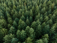 Douglas Fir Trees From Above