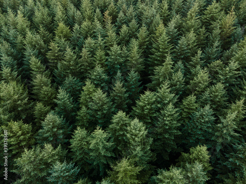 Fototapeta Douglas fir trees from above