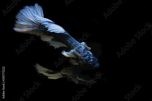 Fotografiet Thai blue fighting fish