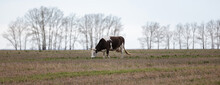 Close Side Shot Of A Lone Black-and-white Cow In The Field. Trees And Grey Sky Are Blurred In The Background. Late Autumn Time. Panoramic. Shot. Altai Krai, Siberia, Russia