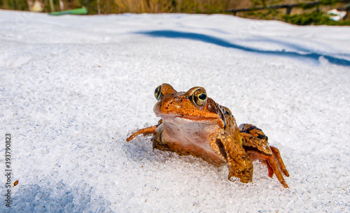 Canvas Print grass frog (rana temporaria) in the snow