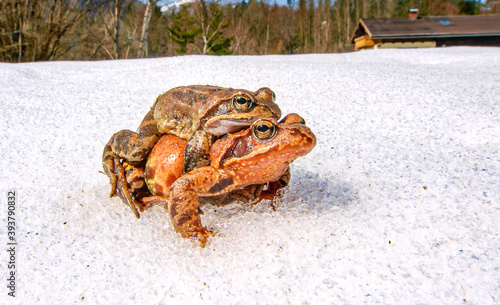 Photo grass frog (rana temporaria)