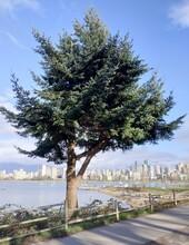 Tree At Kitsilano Beach In Vancouver, BC, Canada.