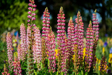 A Close Up View Of Tall Pink Foxglove Flowers In Full Bloom