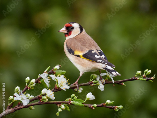 Photo Goldfinch perched on twig with blossom