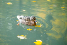 Brown Wild Duck Swims On The A...