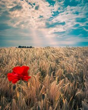 Red Poppy Flower On Field Against Sky