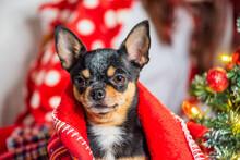 Chihuahua Dog. Chihuahua And C...