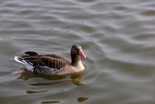 Grey Geese Swim In Park Water,...