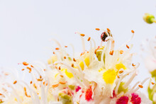 Horse-chestnut (Aesculus Hippocastanum, Conker Tree) Flowers And Leaf On  White Background