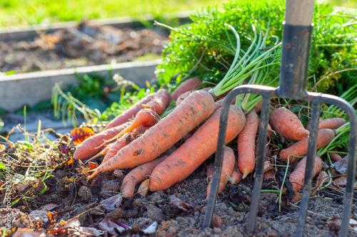 Fototapeta Carrot harvest at a bed in the garden