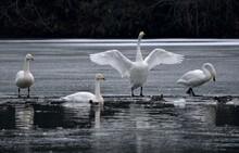 氷の上の白鳥