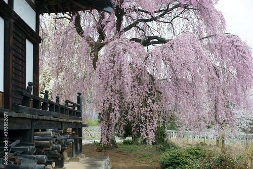 Papel de parede Weeping cherry tree at Manshoji Temple in Yamanashi Prefecture