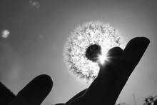 Cropped Image Of Silhouette Person Holding Dandelion Against Sky During Sunny Day