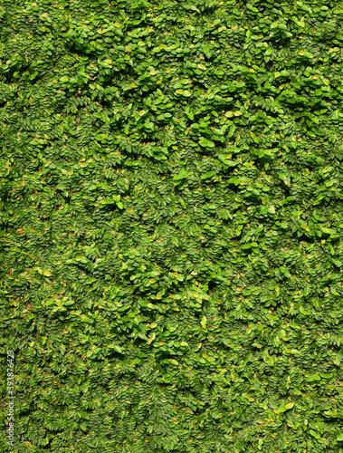 Fotografiet green creeper of bush on wall background, Creeping Fig ( Ficus pumila L