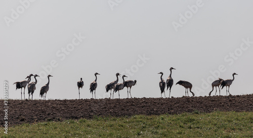 Fototapeta premium Group of Common Crane birds in the field. Lithuania.