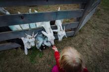 Little Girl Feeding A Goats At...