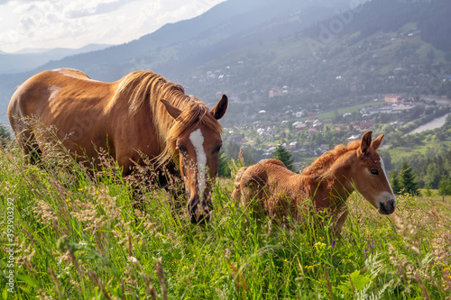 Papel de parede Horse with foal graze in the meadow