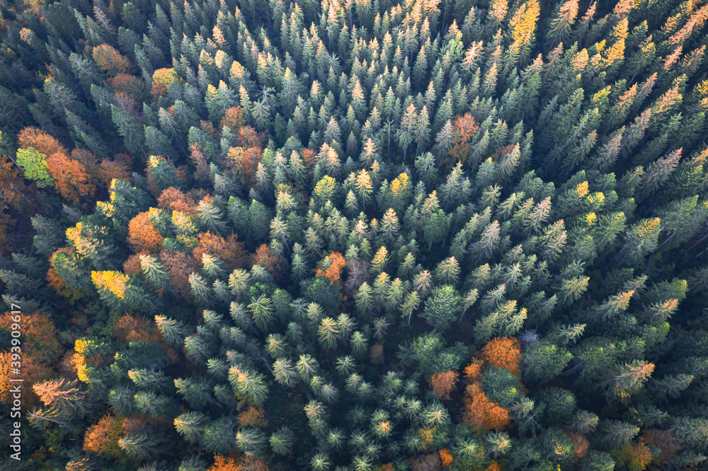 Fototapeta Aerial drone top down view. Yellow, orange and red autumn trees in colorful forest. Sunny day in autumn mountains