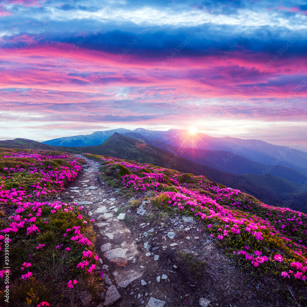 Fototapeta Rhododendron flowers covered mountains meadow in summer time. Purple sunrise light glowing on a foreground. Landscape photography