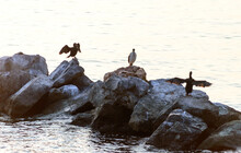 Cormorants Drying Their Feathers On The Promenade Of Barcola In Trieste