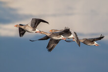 Four Gray Geese Flying After E...