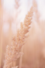 Reed Seeds Golden Grass In The Fall
