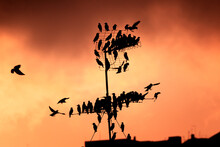 A Flock Of Starling Birds Perched On A TV Antenna With A Stunning Red Sunset On Background. Little Birds During Migration Season Seeking Rest On A Communication Tower. Birdies Silhouette In Backlight.