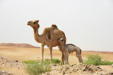 A Mother Camel With Her Offspring