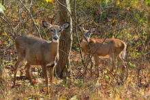 Mamma And Yearling Does In The Woods In Autumn