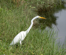 Great Egret With Pure White Fe...