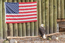 Bald Eagle Perched On Log Near American Flag