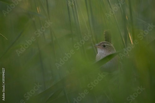 Sedge Wren perched in grassland habitat Fototapet