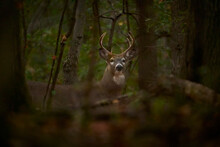 White-tailed Deer Buck With An...