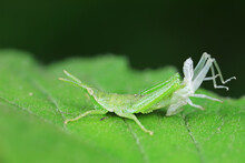 Atractomorpha Sinensis Is Molting On The Weeds