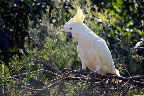the sulphur crested cockatoo is perched on a branch Wallpaper Mural