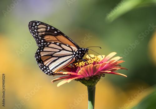 monarch butterfly on flower Fototapet