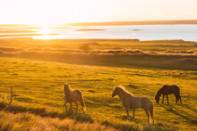 Wild Horses At Sunset In Iceland