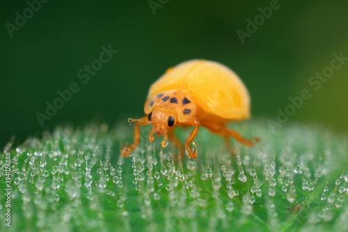 Photo The newly emerged Ladybug perches on the weeds