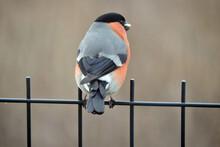 A Male Bullfinch With Orange B...