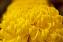 秋に咲く大輪の菊