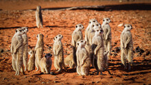 Meerkat Family (Suricata Suricatta), Kalahari Desert, Namibia.
